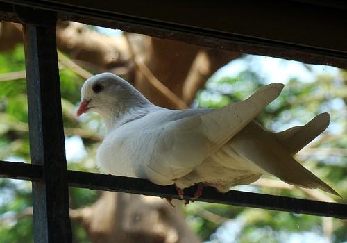 A dove captured on a window sill in Borivli