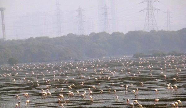 Sewri flamingos